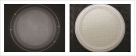 Figure 1: Microcolonies visible after fluorescent staining (left) and an almost identical pattern of colonies after re-incubation (right), demonstrating that the method is non-destructive.