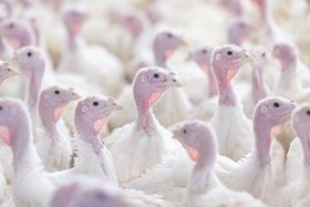 Virginia Poultry processes 25,000 tom turkeys per day averaging 40 – 45 pounds each,