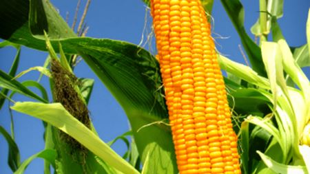 Food: Filtration fulfils important role in starch production