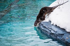 The Ecomuseum Zoo otter habitat in Montreal is the first of its kind in Canada. (Animal images: Courtesy of Ecomuseum Zoo, Montreal)